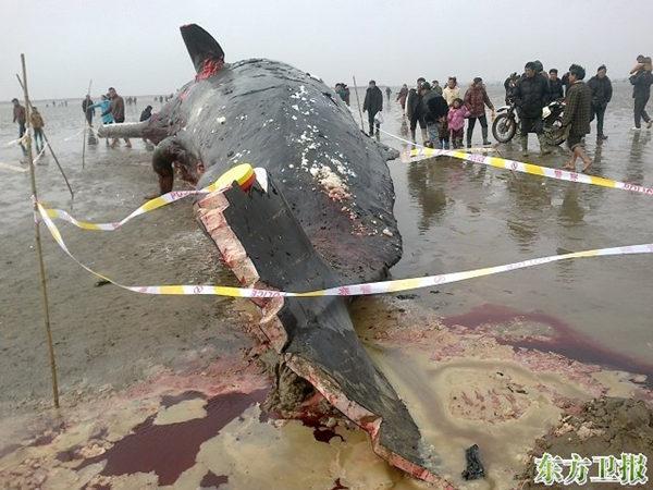 近日在盐城海滩搁浅的四头抹香鲸之一,这是有记录的中国海域第二次大规模鲸鱼搁浅死亡。 图:东方卫报