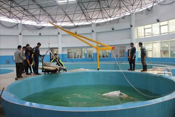 老白在救助池中,救助人员准备为其称重